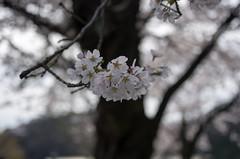IMGP6917 (Amad) Tags: flower japan spring   sakura kiryu