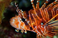 lion9000 (gerb) Tags: orange fish eye topv111 underwater scuba lionfish fins tvp similanislands aquatica 105mmf28micro d7000