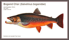 Russian Boganid Char (Fish as art) Tags: russia arctic char northern salvelinus salmonids arcticlakes fishesofrussia