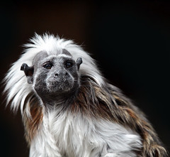 Saguinus oedipus (fabiogis50) Tags: nature animals monkey scimmia saguinusoedipus abigfave zoodipistoia tamarinotestadicotone allofnatureswildlifelevel1 allofnatureswildlifelevel2 rememberthatmomentlevel4 rememberthatmomentlevel1 rememberthatmomentlevel2 rememberthatmomentlevel3 rememberthatmomentlevel7 rememberthatmomentlevel5 rememberthatmomentlevel6 rememberthatmomentlevel8