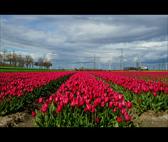 beauty is a field of red tulips...... (atsjebosma) Tags: red sky field clouds spring tulips ngc thenetherlands windmills npc beautys groningen rood veld 2012 tulpen windmolens rwe oudeschip atsjebosma