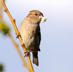 DSC_7623 (PeaTJay) Tags: dunnock sparrow gardenbirds carlsbirdclub