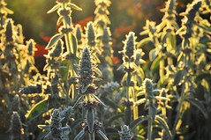 . wooly lambs ear . (susanonline (busy these days)) Tags: shadow sunlight plant green yellow garden 50mm purple halo repetition backlit halos perennial lambsear narrowdepthoffield narrowdof complementarycolors woolylambsear