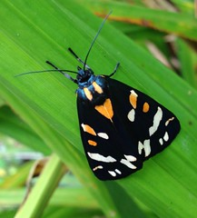 "Scarlet Tiger Moth (Callimorpha dominula) • <a style=""font-size:0.8em;"" href=""http://www.flickr.com/photos/57024565@N00/7501738240/"" target=""_blank"">View on Flickr</a>"
