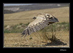 2012-07-04--091-Leonado (Masjota65 (J.Miguel) +300.000 vistas, gracias) Tags: vulture scavenger buitreleonado buitre buitres rapaz rapacious rapace limpador vautour abutre carroero voraz carroeros leonados charrognard