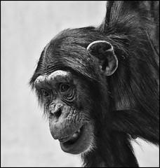 _SG_2012_07_0014_IMG_9956 (_SG_) Tags: bw white black animals canon lens eos zoo schweiz switzerland tiere is blackwhite suisse chimp basel 7d cheetah chimpanzee usm bale schwarzweiss weiss chita ef schwarz tier cheeta basle 70300 schimpanse zoli zoobasel objektiv cheta llens schwarzundweiss ef70300 70300l f456l baslerzoo zooli eos7d canoneos7d canon7d baslerzooli lobjektiv baslerzoli ef70300f456lisusm