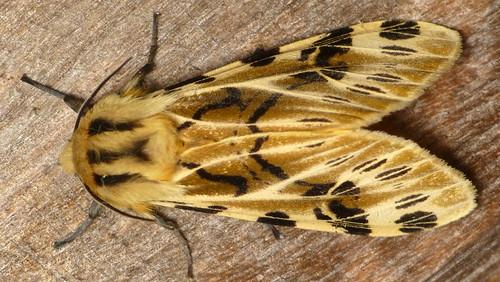 Tiger moth, Hypercompe nemophila, Arctiinae