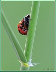 Rood op Zwart.  Lieveheersbeestjes / Ladybug (Eric Tilman) Tags: ladybug op rood zwart lieveheersbeestjes