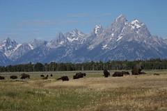 Buffalo Herd and the Tetons 1 (Arnoffoto) Tags: mountains nature grass animals forest landscape nationalpark buffalo grandtetons herd