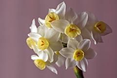 Junquillo (todocomoelorto) Tags: flowerthequietbeauty
