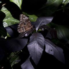In That Place (Drkangeltex) Tags: nature butterflies canondslr bluemorpho hmns canon450d canonefs1855mmf3556is canonxsi museumofmaturalscience cockrellbutterlfycenter