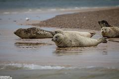 Seal on the Point (charliewphotos) Tags: sea england nature animal canon eos coast countryside unitedkingdom wildlife norfolk 300mm adobe seal eastanglia blakeney northnorfolk blakeneypoint 60d ef300mmf4l lightroom4 northnorfolkdistrict