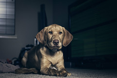 Scout | Fox Red Labrador (Jake Guenthardt) Tags: canon jake wfsu guenthardt jakeguenthardt