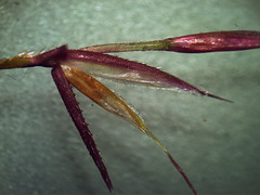 Chrysopogon filipes spikelet3 (Macleay Grass Man) Tags: grass native australian poaceae vetiver filipes chrysopogon