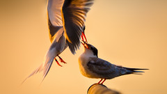 Fledgeling Tern Gets Fed (Old-Man-George) Tags: bird animal tern fledgeling d7k9779edit
