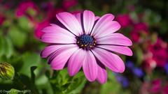 One Amongst Many (David S Wilson) Tags: england blur flower macro floral garden purple bokeh daisy ely f56 fens osteospurnum deeppink fujifilmx100 davidswilson adobelightroom4