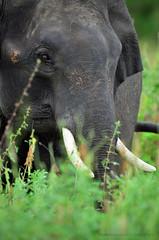 Tusker at Walawe National Park (Tharindu 'T' Wijayasena (I'm back!)) Tags: prime nikon wildlife sigma elephants 500mm mammals 2012 asianelephant tusker udawalawe elephasmaximusmaximus udawalawenationalpark sigma500mm srilankanwildlife d7000 srilankanelephant sigma500mm45 bigmammals nikond7000 tharinduwijayasena