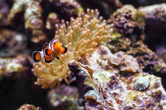 ClownFish + Anemone in a reef tank = Awe by chris favero, on Flickr