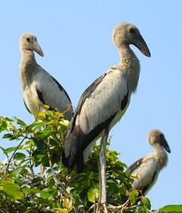 IMG_9583 (m I m) Tags: bird canon flight 7d karnataka ranganathittu monish