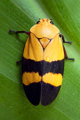 Tomaspis semiflava (Techuser) Tags: macro nature animal bug insect rainforest close inseto msn mata leafhopper atlantica planthopper raynox intervales cigarrinha cercopidae canon1855is