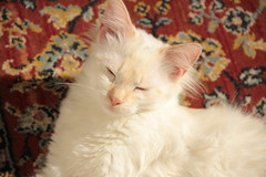 IMG_0693 (deadoll) Tags: cats cute love cat canon fur furry kat feline chat amor blueeyes adorable kitty kittens 7d arya gata felinos felino felines neko katze fofo gatto babys gatti whitecat pur doof gatas branquela canon7d