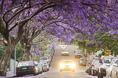 Jacaranda Street (Kokkai Ng) Tags: street new trees tree car st wales spring driving purple south parking sydney australia headlights bloom flowering parked jacaranda blooming kirribilli mcdougall
