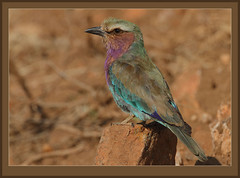 Lilac-breasted Roller juvenile (view in original) (Rainbirder) Tags: west tsavo lilacbreastedroller coraciascaudatus rainbirder