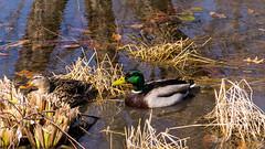 Mallard Couple (JustinDoles) Tags: winter ohio duck nikon outdoor mallard dayton metropark coxarboretum d3100