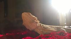 Basking in the light (Matty Ring) Tags: light red sun carpet dragon lizard bearded