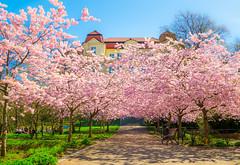 Spring in the park (bjrn_c) Tags: park pink blue sky flower garden spring dream scenic cherryblossom sakura cherrytree hanami goteborg
