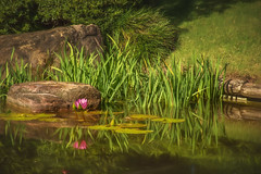 Monets Garden (jenni 101) Tags: nature reflections outdoors pretty waterlillies nikond7200
