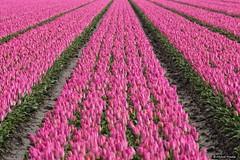 2016-04 Uitbundige kleuren, zelfs rose, mogen weer op Goeree (Nieuwe-Tonge/NL) (About Pixels) Tags: 0416 2016 april bloemen collecties goeree holland lenteseizoen mnd04 natuur nederland tulpen langeweg nieuwetonge netherlands nl nikond7200 tulips flowers flora bollenteelt bollen tulpenbollen tulpenveld specials zuidholland