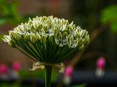 Blumen im Garten im Mai-6 (joerg.stappen) Tags: pflanze blume unsergarten