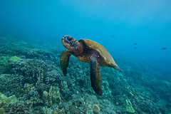 world turtle day (bluewavechris) Tags: ocean life blue sea green water animal coral hawaii marine turtle reptile shell maui scales reef creature flipper worldturtleday