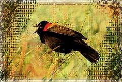 Another composite (NancySmith133) Tags: painterly composites photopainting redwingedblackbird centralfloridausa photopaintingsoutdoorscenes lakeapopkanorthshorewildlifedrive