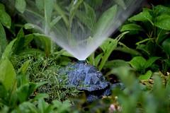 Turtle Ornament Sprinkler (Joseph Hollick) Tags: garden sprinkler