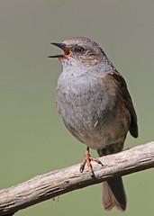 One legged singing Dunnock (mike good1) Tags: bird garden wildlife dunnock sparrow hedge