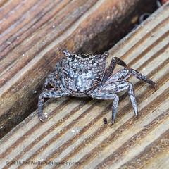 B36C5010 (WolfeMcKeel) Tags: park vacation keys spring key long state florida wildlife crab land largo 2016 floridakeys2016vacationspring