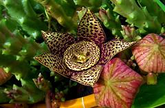 Orbea variegata_Stapelia. (jagar41_ Juan Antonio) Tags: flores flora orbeavariegata stapelia flor