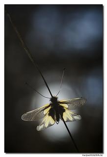 Ascalaphe soufré #2 - Libelloides coccajus