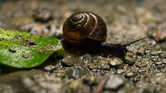 On the way (GH#Photography) Tags: canon eos pflanze steine tau makro blatt kontrast schnecke weg farben welt kleine tiefenschrfe 600d kriechtier fhler kleintiere wirbellos