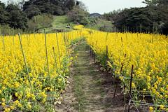 20160424-09 (GenJapan1986) Tags: flower film japan landscape island spring  miyagi   2016      nikonnewfm2  fujifilmfujicolorsuperiapremium400   hojima