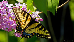 Eastern Tiger Swallowtail (Bob's Digital Eye) Tags: nature yellow canon butterfly insect flickr outdoor easterntigerswallowtail flicker t3i papiliomulticaudata yelloweasternswallowtail canonefs55250mmf456isstm bobsdigitaleye