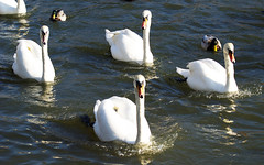 In Formation (dolbinator1000) Tags: water river four duck swan ducks swans avon stratford upon