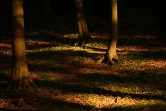 Letztes Licht im Buchenwald (Caora) Tags: light forest germany buchenwald sundown rgen beech