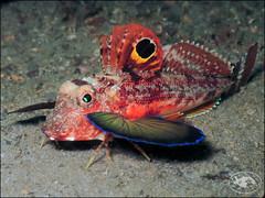 Spiny Gurnard (Lepidotrigla papilio) (Brian Mayes) Tags: canon underwater australia scuba diving pipeline nelsonbay gurnard g16 1729 brianmayes spinygurnard lepidotriglapapilio canong16