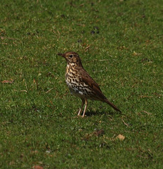 2016_05_0125 (petermit2) Tags: abbey nt yorkshire fountains fountainsabbey nationaltrust northyorkshire thrush studleyroyal songthrush studleypark riponstudleyroyalpark