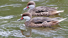 DSC08583_DxO (Franck Zumella) Tags: reflection bird water rouge duck eau teal bec reflexion oiseau canard brun mottled redbilled