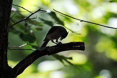 Tufted Titmouse 2016 07 (Jim Dollar) Tags: sc birds southcarolina tuftedtitmouse indianland jimdollar canon6d scenesfrommyhammock