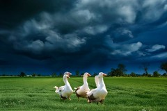 Dont look Behind you. (bainebiker) Tags: geese field sky stormysky hdr turbulentweather clouds canonef24mmf14liiusm langtoft lincolnshire uk